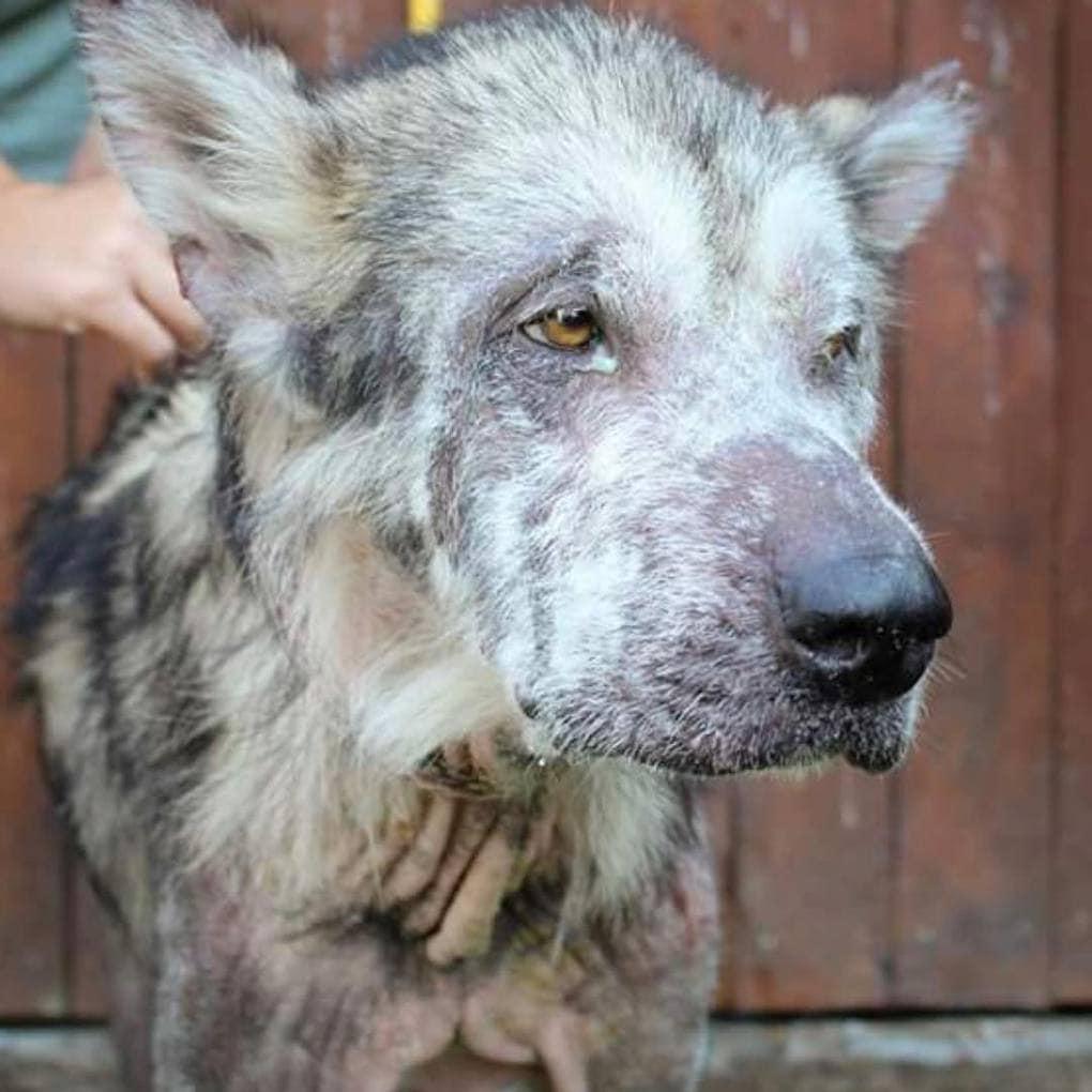 138545 Собаку конфисковали у недобросовестных хозяев. О том, что это маламут, никто не мог и подумать…