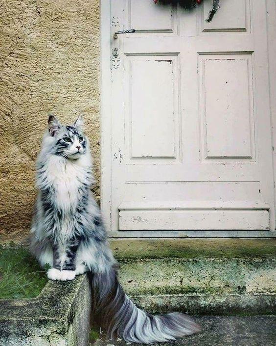 143137 Несколько мейн-кунов, по сравнению с которыми остальные кошки — настоящие карлики