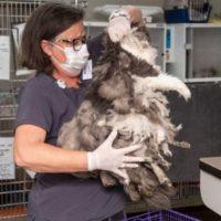 141839 Ветеринары состригли килограмм шерсти из этого животного. Оказалось это очень милая кошечка