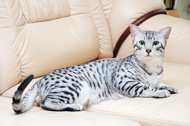 Кошки породы египетская мау — красивые, грациозные, непоседливые и очень хитрые