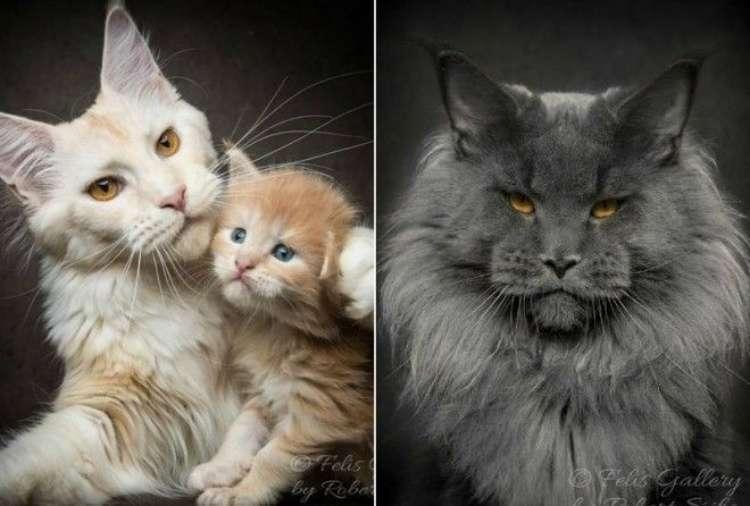 152075 Магическая красота мейнкунов, самых крупных кошек