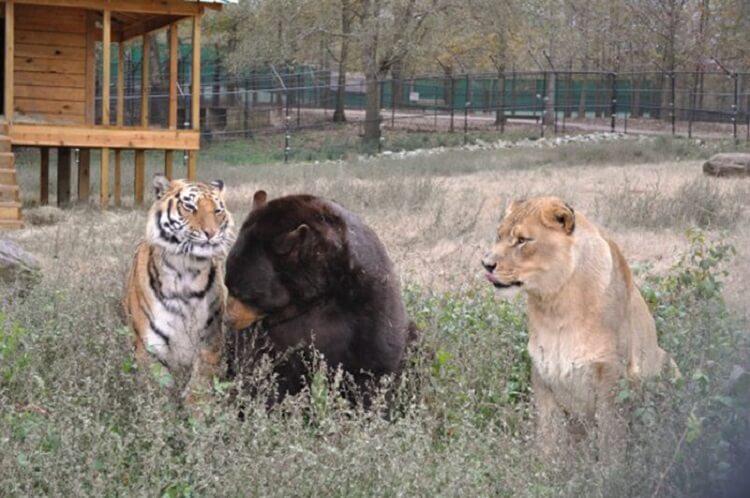 152749 Необычная дружба: медведь, лев и тигр неразлучны уже более 15 лет!