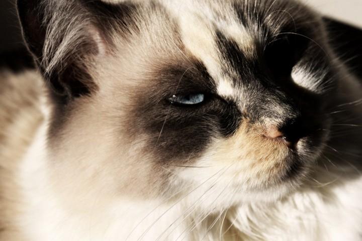 162513 Рэгдоллы - самые дружелюбные представители семейства кошачьих