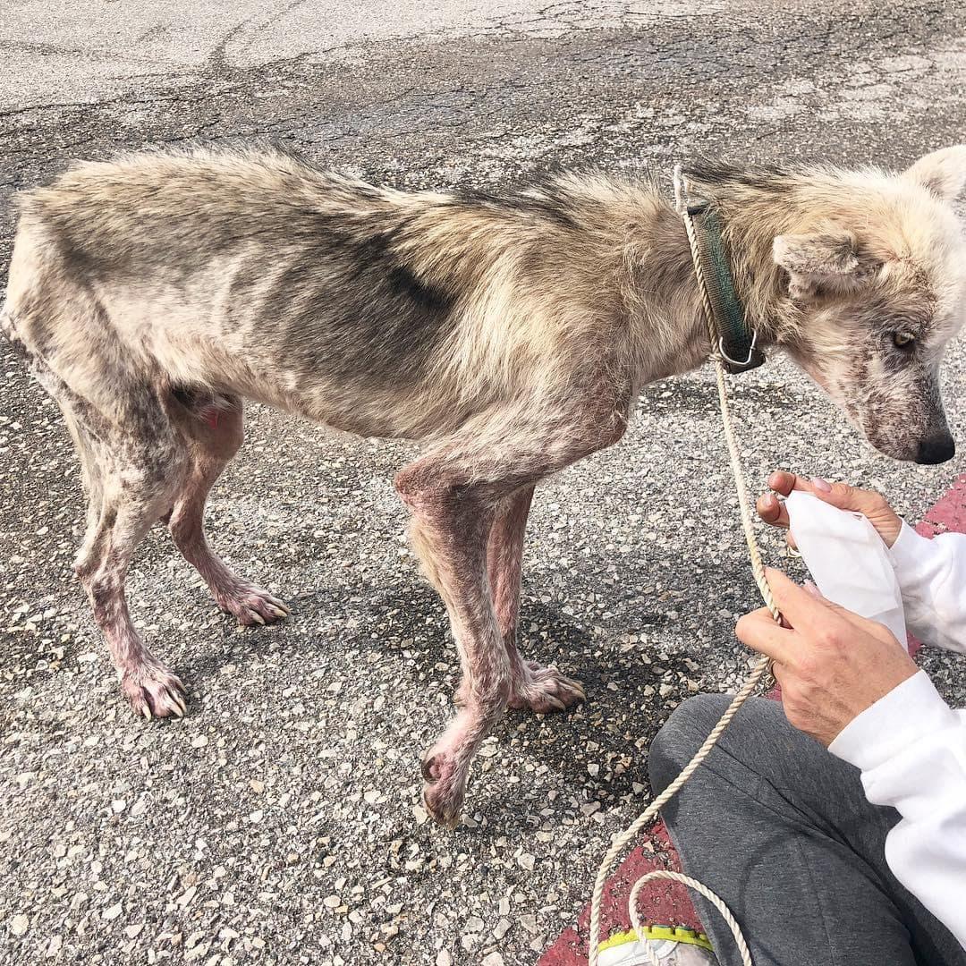 162337 Волонтеры выходили пса породы хаски, который 2 года сидел на цепи. Посмотрите в какого красавца он превратился!
