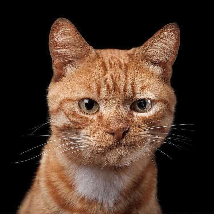 165380 Фотограф снимает примечательные портреты котов, подчеркивающие их личность
