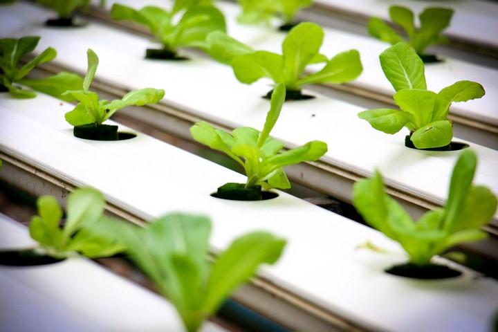 165610 Гидропоника: Можно ли выращивать растения на воде?