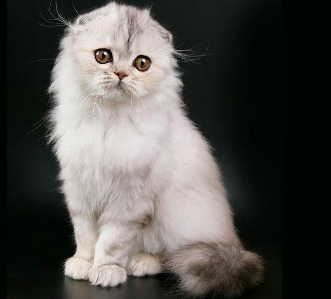 165781 Котята породы хайленд-фолд, что может быть милее? Очаруйтесь вместе с нами