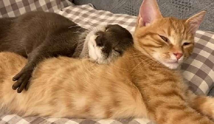 Трогательное видео: выдра и кошка сладко спят в обнимку.