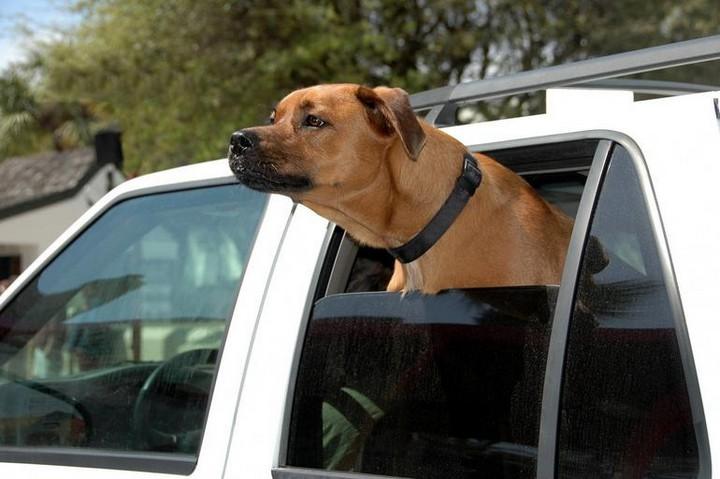 168216 Почему собаки любят высовывать голову из окон машины?